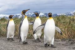 The boys on a stroll (Gies!) Tags: 2016 antartica kingpenguins animals birds wildlife southgeorgia
