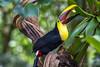 Yellow-throated Toucan (schikarmane) Tags: birds chestnutmandibledtoucan costarica lavirgen toucan wildlife yellowthroatedtoucan