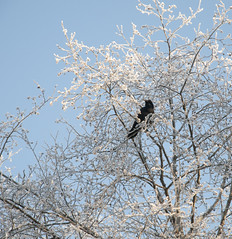 _TRW7470 Raven in Frosted Tree (terrificphotos) Tags: juneauaalaska twinlakes dogs frost trees raven evergreen icecrystals hockey