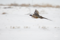 In-flight pheasant (TheArtOfPhotographyByLouisRuth) Tags: bird birdsofhappiness birdsbirdsandmorebirds birdphotolicenses birdsasart birdsofidaho birdphotography birdsinflight pheasant phasianidaegrousepheasantsandpartridges grouse winter snow cold foggy fog birdsinmotion canon canondslruser canon5dmarkiii artofimages wildlife animals supremeimages idaho idahowildlife theworldofbirds wildliferus wildlifephotographs beautifulcapture boisedigitalphotographygroup bestbirdsworldwide flickrcentral birdsmorebirds flickritis animalplanet beautiesbeasts charliesgroup thebestcapturesaoi~l2