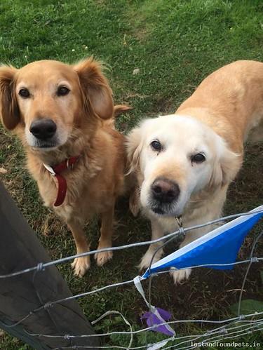 [Reunited Via Other Site] Sat, Dec 17th, 2016 Lost Female Dog - Toberburr, Fingal, Dublin