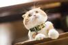 DSC_1922 (Aya.H) Tags: cat 猫 scottishfold スコティッシュフォールド