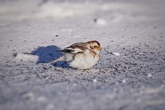 Snow bunting on the road of plenty (beyondhue) Tags: snow bunting bird winter beyondhue ottawa plectrophenax nivalis