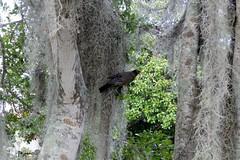 Turdus migratorius --  Robin 096 (2) (Tangled Bank) Tags: wild nature natural alachua county florida tree spanish moss flower bird turdus migratorius robins cnty 091 2