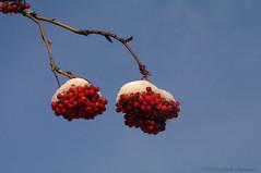 Motherland Belarus (Natali Antonovich) Tags: motherlandbelarus belarus novogrudok navahrudak nature winter tree frost snow rowan berries christmasholidays christmas