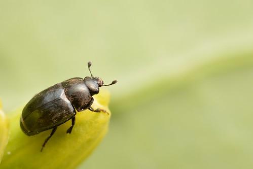 Rapeseed pollen beetle