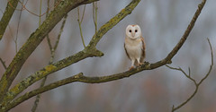 Good Morning! (KHR Images) Tags: red barnowl barn owl tytoalba wild bird birdofprey nature wildlife perched cambridgeshire fens eastanglia nikon d500 kevinrobson khrimages
