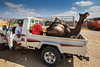Oman 2016 (d.vanderperre) Tags: middleeast oman market camel pickup bedouin