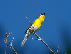 Yellow-breasted Chat, Icteria virens (bruce_aird) Tags: