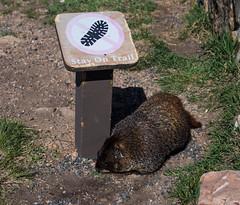 Rules is rules....jpg (tiggerpics2010) Tags: marmots rockies usa colorado continentaldivide