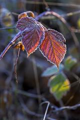 PC040050 2048 (Dirk Buse) Tags: olympus zuiko pro mft em1 omd frost blatt farbe rot gegenlicht licht winter kalt kälte natur nature outdoor nrw rieselfelder münster münsterland 40150 4015028