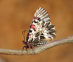 Zerynthia polyxena - Southern Festoon (Roger Wasley) Tags: zerynthia polyxena southern festoon butterfly butterflies europe european macro insect papilionidae