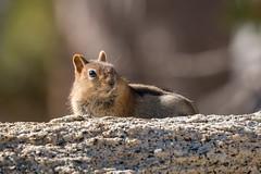 IMG_9441 (ben.roberts999) Tags: goldenmantledgroundsquirrel mammal nv ophircreek reno squirrel tahoemeadows usa wildlife