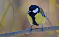 Another day, another bird... Great tit (L.Lahtinen (nature photography)) Tags: greattit talitiainen tiainen birdlife wildlife winter nature luonto nikond3200 55300mm nikkor finland suomi songbird fauna lintu larissadatsha laululintu nikkor55300mm naturephotography 7dwf europe