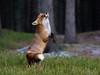 Chasing snowflakes (acahaya) Tags: redfox rotfuchs vulpesvulpes omdem1ii