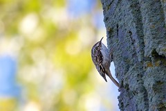 Creeper and Colors (imageClear) Tags: creeper browncreeper foraging feeding tree bark nature bird aperture light colors nikon d500 80400mm imageclear flickr photostream