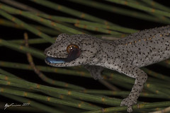 Eastern Spiny-tail Gecko (R. Francis) Tags: brigalowbelt ryanfrancis ryanfrancisphotography qld queensland southeastqueensland
