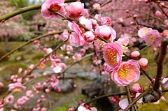 Pink Plum (T.Machi) Tags: flower pink plum blossom garden kyoto japan branch fujifilm xf1