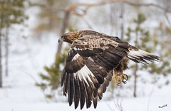 Eagle flyby (MatsOnni) Tags: maakotka aquilachrysaetos goldeneagle raptors eagles petolinnut kotkat linnut birds esiaikuinen