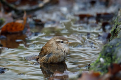 Jenny wren bathtime (Swell Wood) (Steve Balcombe) Tags: bird wren troglodytes troglodytestroglodytes bath bathing bathtime splashing water woodland pond rspb swellwood somerset uk