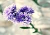 recuerdos lilas. (BAYRI) Tags: flowers flores lilas babypurple