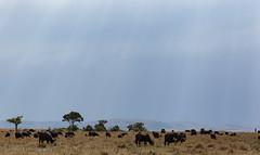 African buffalo on the Masai Mara (mirsasha) Tags: january kenya africanbuffalo 2017 masaimara narokcounty ke