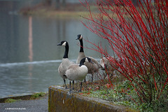 (JSB PHOTOGRAPHS) Tags: dsc641500011 canadian geese eugeneoregon altonbakerpark pond water rainyday rain raining nikon d70s 18300mm
