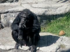 Pan troglodytes (carlos mancilla) Tags: pantroglodytes chimpancé chimpanzee simio ape olympussp570uz zoológicos zoos