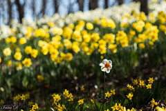 Standing tall (Irina1010) Tags: daffodil flower daffodilfields gibbsgardens spring colorful flowers carpet bokeh one tall standing beautiful nature canon ngc npc