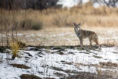 Distant stare (dekish1) Tags: 2v3a0776jpg canon7dmarkii cherrycreekstatepark copyrightdavidkish colorado coyote canon10044mm
