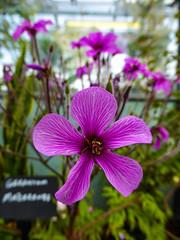 The Pink Geranium (Steve Taylor (Photography)) Tags: pink geranium sign green brown closeup macro uk gb england greatbritain unitedkingdom flower petals greenhouse
