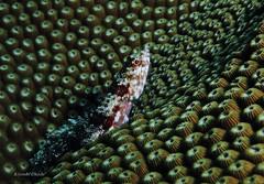 Lizardfish on the coral (kyshokada) Tags: lizardfish mamanuca corals underwater mamanucaislands scuba fiji hardcorals canon powershot g7x reef pacific animalplanet