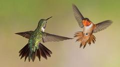 Broad-tailed and Rufous Hummingbird (Eric Gofreed) Tags: arizona hummingbird oakcreekcanyon rufoushummingbird broadtailedhummingbird cocoinocounty