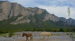 Afternoon Stroll (rasdiggity) Tags: mexico afternoon northamerica stroll mules mule huasteca lahuasteca nuevolen