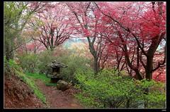nEO_IMG_DP1U3950 (c0466art) Tags: trip travel flowers trees light cloud rain japan canon season landscape spring maple scenery colorful day tour place little path hill bloom popular 2015 1dx c0466art park