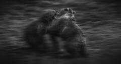 Osos pardos. Cabrceno, Cantabria. (Ral Barrero fotografa) Tags: bear wildlife osos cabarceno