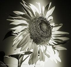 Sky Flowers 112/215 (uselessbay) Tags: blackandwhite digital nikon providence rhodeisland sunflowers fullframe floraandfauna uselessbay 2015 d700 nikond700 uselessbayphotography williamtalley 2152015 215in2015