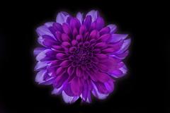 ダリア (yoko.wannwannmaru) Tags: lighting dahlia ngc npc 花 室内 赤紫 ダリア ライティング coth5 20150827dsc76401 redpurplecolor
