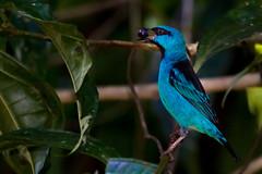 Sa-azul Macho Alimentando-se na Mata Atlntica (Jaim Oliveira) Tags: brazil animals fruit rainforest eating wildlife maceio alagoas bluedacnis parquemunicipal dacniscayana saazul