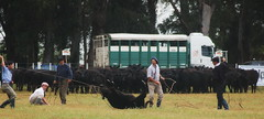 La yerra (Eduardo Amorim) Tags: southamerica argentina lazo kuh cow rind cattle cows ox ganado oxen mucca gauchos ayacucho bois khe vache vaca vacas vaches boi gaucho buey ternero amricadosul mucche lao boeuf vieh gacho amriquedusud provinciadebuenosaires gachos boeufs buoi sudamrica rinder gado suramrica amricadelsur bueyes sdamerika novillo novilho mue marcao buenosairesprovince bestiami btail yerra americadelsud americameridionale campeiros terneiro campeiro eduardoamorim