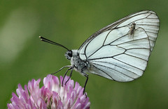 Aporia crataegi, Black-veined White, Rila, Bulgaria, June 2014 (janetgraham84) Tags: white pieridae aporia crataegi blackveined