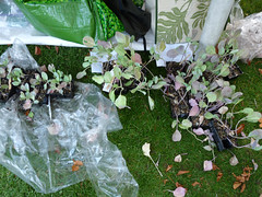 Reading Town Meal - free cabbage seedlings (karenblakeman) Tags: uk food reading october vegetable 2015 forburygardens cabbageseedlings localcommunities readingfoodgrowingnetwork rfgn readingtownmeal2015