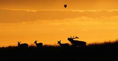 Zonsondergang Bronst Edelherten (nsiepelbakker) Tags: sunset outdoor wildlife deer nationaleparkdehogeveluwe edelherten bronst