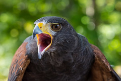 Apache speaks out (Explored) (Fred Roe) Tags: nature birds wildlife birding raptor birdwatching birdwatcher harrishawk parabuteounicinctus explored nikond810 fortwashingtonsp nikonafsmicronikkor105mmf28 lca81a2897