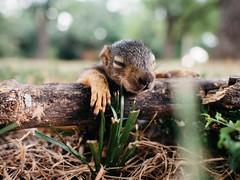 Baby Squirrel (BurlapZack) Tags: portrait rescue cute closeup squirrel bokeh critter wildlife wideangle frontyard varmint babysquirrel pack07 dentontx vscofilm olympusomdem5 olympusmzuiko17mmf18