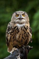 mighty (kg2km) Tags: park bird singapore owl falcon 70200mm 40d kingofsky f28isii