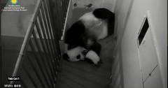 Mei-Trying to scruff Bei Bei's neck. (partipersian) Tags: mom mei pandas bei meixiang beibei pandacug