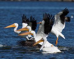 Early Arrivals (dcstep) Tags: urban usa nature flying colorado flight pelican urbannature handheld allrightsreserved bif birdinflight americanwhitepelican cherrycreekstatepark copyright2015davidcstephens dxoopticspro1051 y6a8444dxosrgb