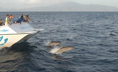 Dolphins, Dominica. Photo provided courtesy of Discover Dominica Authority.
