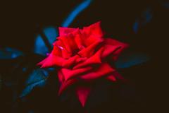 The red. It filters through. (Icedavis) Tags: sunset red plant flower fall leaves minnesota rose dark landscape evening moving leaf emotion dusk minneapolis arboretum chevelle petal emotional mn chanhassen lyric cmwd cmwdred